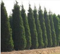 辽宁省抚顺市高度70公分油松全市统一批发报价