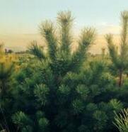 辽宁省本溪市园林绿化用1米高樟子松批发报价