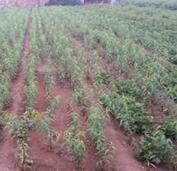 北京市公园景观用米径4公分桃树苗的批发报价