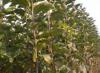 北京市东城区园林建设用米径4公分苹果树苗批发报价