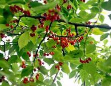 北京市海淀区行道绿化用4公分樱桃树小苗报价