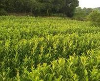 北京市密云区园林绿化用60公分高法国冬青价格