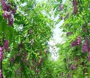 北京市延庆区绿化用60公分高紫穗槐批发价格