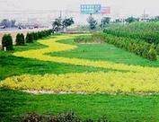 北京经济技术开发区园林绿化用50公分高金叶莸