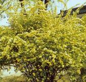 甘肃省兰州市园林绿化用40公分黄刺玫报价