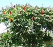 甘肃省白银市城市绿化用米径6cm火炬树报价
