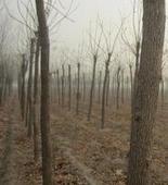甘肃省张掖市公园绿化用7cm白蜡树批发报价