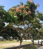 甘肃庆阳市园林用米径5cm合欢树的批发比价