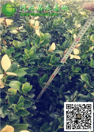 杏树幼苗修剪技术图解