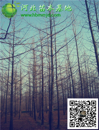 山东银杏直供基地:6-7公分银杏树可选等级丰富价格优惠