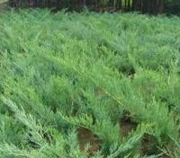 青海省海北藏族自治州绿化用高度70公分沙地柏批发报价