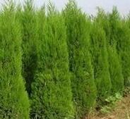 黄南藏族自治州陵园绿化用1.5米高塔桧报价