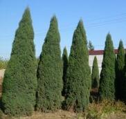 青海玉树园林绿化用高度70-80公分北京桧柏报价