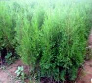 河北省绿化用1米高侧柏的批发报价