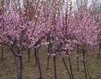 河北沧州地径4公分美人梅批发价格