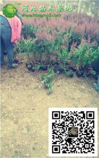 河北苗木基地45-50高紫叶小檗报价