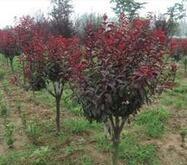 高度180公分的紫叶矮樱苗木价格