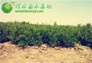 50公分小叶黄杨:定州大量上市,价格稳定