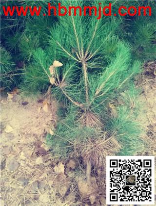 1米高油松小苗:种类丰富,价格差距大