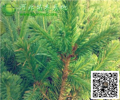 1.2米樟子松:山西存货量大,河北价格较高