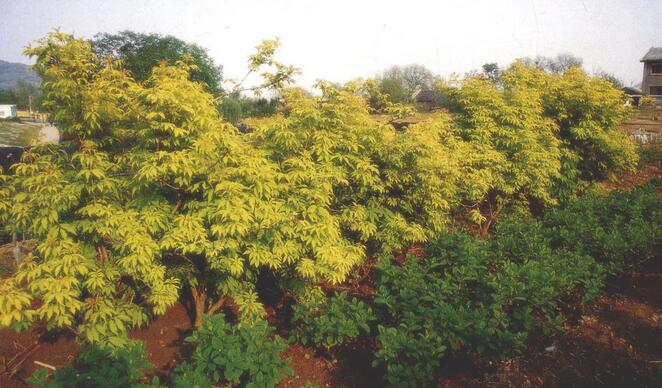 金叶接骨木