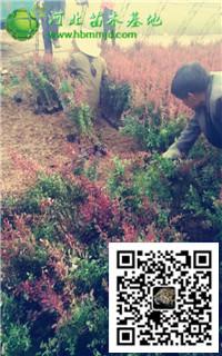 50-60公分高的紫叶小檗多少钱一棵?