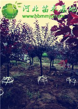 4-5公分紫叶矮樱产地价格_图片_详细介绍