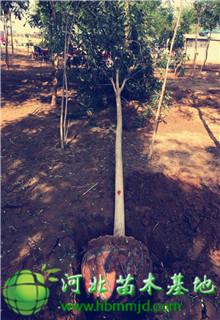 直径8公分冠幅2米五角枫价格-图片-苗圃基地报价